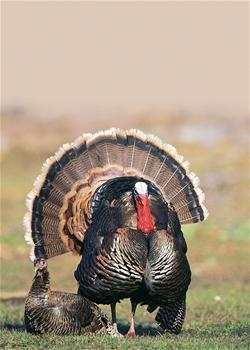 Yamaha Outdoors Tips — Sit Between the Gobbler and Hens