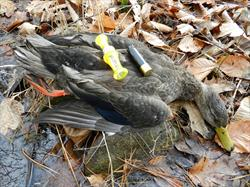 Yamaha Outdoors Tips — Work on Your Duck Calling Now