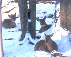 Yamaha Outdoors Tips — Late Winter Whitetail Nutrition