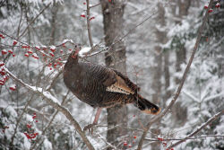 Yamaha Outdoors Tips — Winter Turkey Hunting
