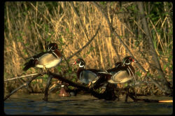 Yamaha Outdoors Tips — Hunting Wood Ducks